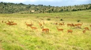 Greceful gazelles