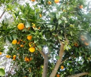 Ayia Anargiri's on site orange trees