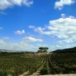 The Vega vineyard