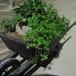 Organic herbs in wheelbarrow