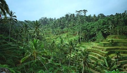 Bali - Ubud's rice paddy fields