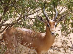 A gracious gazelle at Al Maha