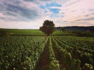 The vineyards of Burgundy - Burgundy wine - French wine - FooDiva