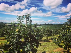 Armagh Bramley apple orchard - Northern Ireland - FooDiva