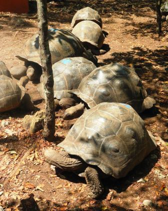 Century-old giant tortoises on Prison island