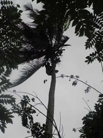 Climbing a coconut tree - not me!